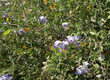 Lathyrus odoratus blossom. Beautiful blossom of Lathyrus odoratus plant Stock Image