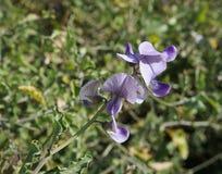 Lathyrus odoratus blossom. Beautiful blossom of Lathyrus odoratus plant Stock Images