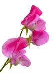 Lathyrus odoratus, Sweet pea Stock Photo