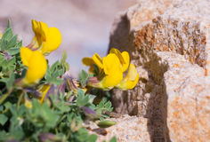 Lathyrus pratensis or meadow vetchling on stone... Royalty Free Stock Photo