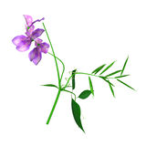 Lathyrus (Sweet pea) Stock Images