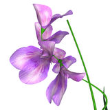 Lathyrus (Sweet pea) Royalty Free Stock Image