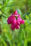 Lathyrus tuberosus. The blossoming plant Royalty Free Stock Photography