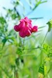 Lathyrus tuberosus. Flower Stock Photo
