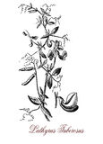 Lathyrus tuberosus or tuberous pea, botanical vintage engraving. Botanical vintage engraving of tuberous pea, perennial plant with edible roots, the Stock Photography