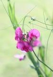 Lathyrus in un colore di acqua Fotografie Stock Libere da Diritti