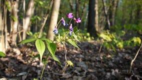 Lathyrus vernus purpury kwitną w cieniu w wiosny lasowej Mknącej statycznej kamerze lekki wiatr zbiory