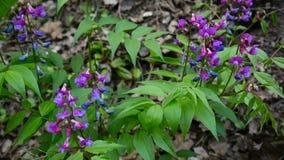 Lathyrus vernus purpury kwitną w cieniu w wiosny lasowej Mknącej statycznej kamerze lekki wiatr zbiory wideo