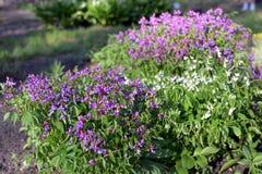 Lathyrus vernus (spring vetchling or spring pea) Stock Images