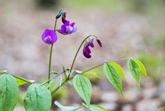 Lathyrus vernus znać jako wiosny wyka Fotografia Stock