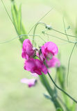 Lathyrus in a water colour. Royalty Free Stock Photos
