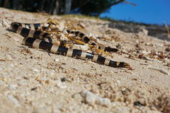 Laticauda-Colubrina krait Meer der Seeschlange mit einem Band versehener Stockfoto