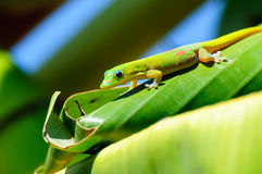Laticauda de Phelsuma photo stock