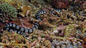 Laticaudata di Laticauda o Blackbanded SeaKrait Fotografia Stock