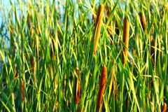 Latifolia de typha Photographie stock
