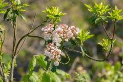 """Latifolia del Kalmia del †del laurel de montaña """" imagenes de archivo"""