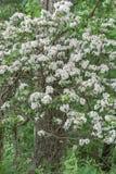 """Latifolia del Kalmia del †del laurel de montaña """" fotografía de archivo libre de regalías"""