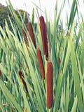 Latifolia do Typha, Cattail Fotos de Stock