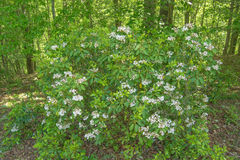 """Latifolia van de berglaurier †""""Kalmia stock afbeeldingen"""