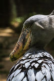 Latijnse naam - Balaeniceps rex Royalty-vrije Stock Foto's