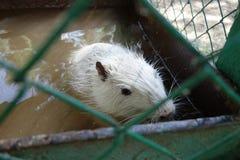 Latim branco da lontra - coypus do Myocastor em uma gaiola em um tanque de água Fotos de Stock Royalty Free