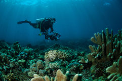 Latimanus för Broadclub bläckfiskSepia i Gorontalo, Indonesien Royaltyfri Bild