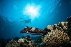 Latimanus för Broadclub bläckfiskSepia i Gorontalo, Indonesien undervattens- foto arkivfoton