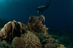 Latimanus för Broadclub bläckfiskSepia i Gorontalo, Indonesien undervattens- foto Arkivfoto