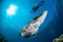 Latimanus för Broadclub bläckfiskSepia i Gorontalo, Indonesien undervattens- foto royaltyfria bilder