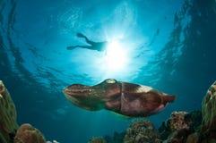 Latimanus för Broadclub bläckfiskSepia i Gorontalo, Indonesien undervattens- foto royaltyfri foto