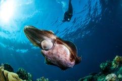 Latimanus för Broadclub bläckfiskSepia i Gorontalo, Indonesien undervattens- foto royaltyfri fotografi