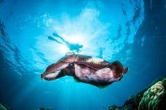 Latimanus för Broadclub bläckfiskSepia i Gorontalo, Indonesien undervattens- foto arkivbilder