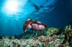 Latimanusen för Broadclub bläckfiskSepia och champinjonläder snyltar Sarcophyton sp i Gorontalo Indonesien undervattens- foto Arkivfoto