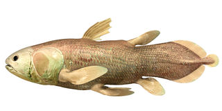 Latimeria Chalumnae (coelacanth) Imagem de Stock