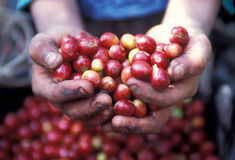 Free LATIN AMERICA GUATEMALA COFFEE Stock Photo - 47373050