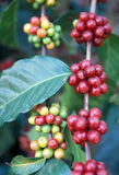 LATIN AMERICA GUATEMALA COFFEE Royalty Free Stock Photography