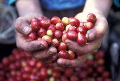 LATIN AMERICA GUATEMALA COFFEE. A coffee plantation neat the city of Antigua in Guatemala in central America Stock Photo