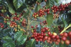 LATIN AMERICA HONDURAS COPAN. The coffee Plantations in the Hills of Copan in Honduras in Central America Stock Photos