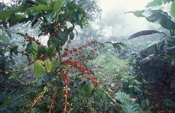 LATIN AMERICA HONDURAS COPAN. The coffee Plantations in the Hills of Copan in Honduras in Central America Stock Image