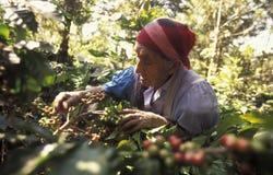 LATIN AMERICA KOFFEE stock photos