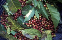 LATIN AMERICA KOFFEE. A coffee Plantation of finca near the city of Antigua in Guatemala in central America Royalty Free Stock Image