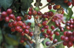 LATIN AMERICA KOFFEE. A coffee Plantation of finca near the city of Antigua in Guatemala in central America Stock Images