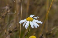 Latin Matricаria - un genre de camomille de p fleurissant éternel Photographie stock