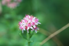 Eight treasures. Latin name: Sedum spectabile. Sedum is a perennial fleshy herb, underground stem hypertrophy, stems clustered on the ground, stout and upright Royalty Free Stock Photography