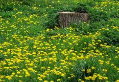 Spring meadow - green grass studded with dandelions Taraxacum. The Latin name of the Taraxacum plant comes from ancient Greek shaking `eye irritation`, since eye Stock Image