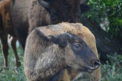 Latinnamn - bisonbison Arkivbild