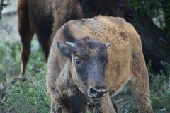 Latinnamn - bisonbison Royaltyfri Foto