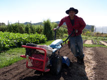 Latino farm worker. Pushing a two wheel gardening tractor. Dressed in red shirt, blue jeans and large sombrero hat Stock Image