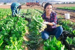 Free Latino Female Worker Picking Chard On Field Royalty Free Stock Image - 191878386