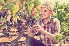 Latino man picking ripe grapes on vineyard Stock Photos
